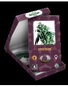 Bancos de semillas para el cultivo de plantas de marihuana - Chaouen Grow Shop